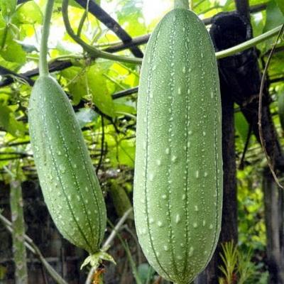 khasiat-tanaman-blustru
