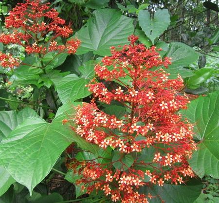 khasiat-bunga-pagoda