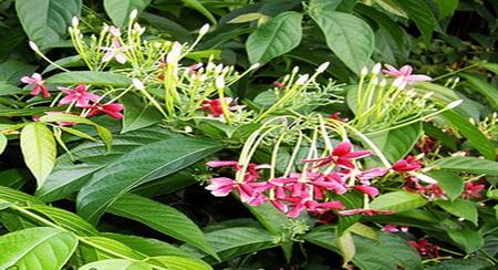 khasiat-tanaman-ceguk
