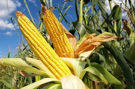 tanaman-jagung