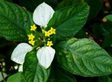tanaman nusa indah putih