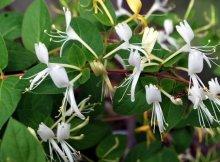 khasiat tanaman ranggis